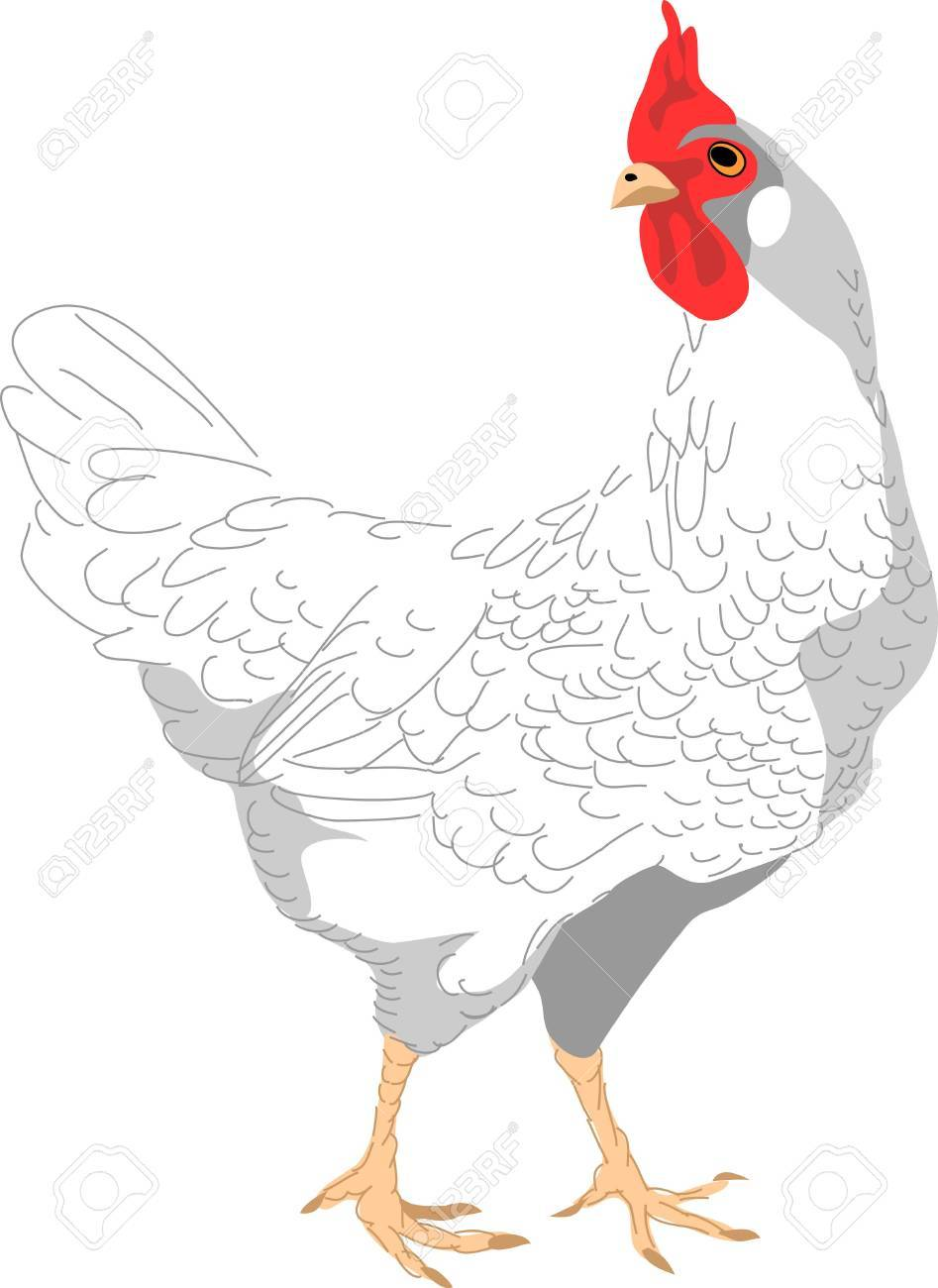 white hen Stock Vector - 13318727