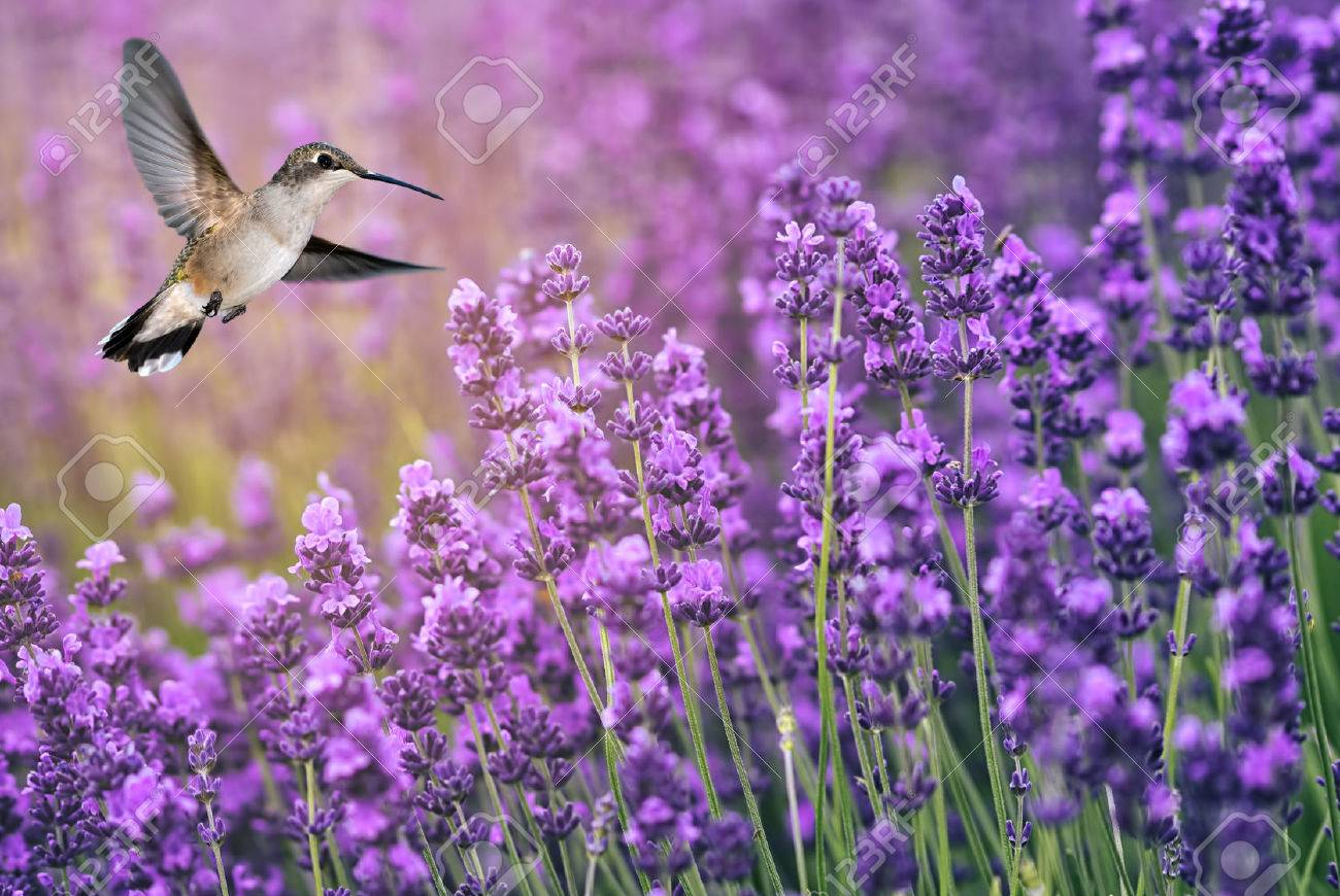 hummingbird feeding from lavender flowers stock photo, picture and, Natural flower