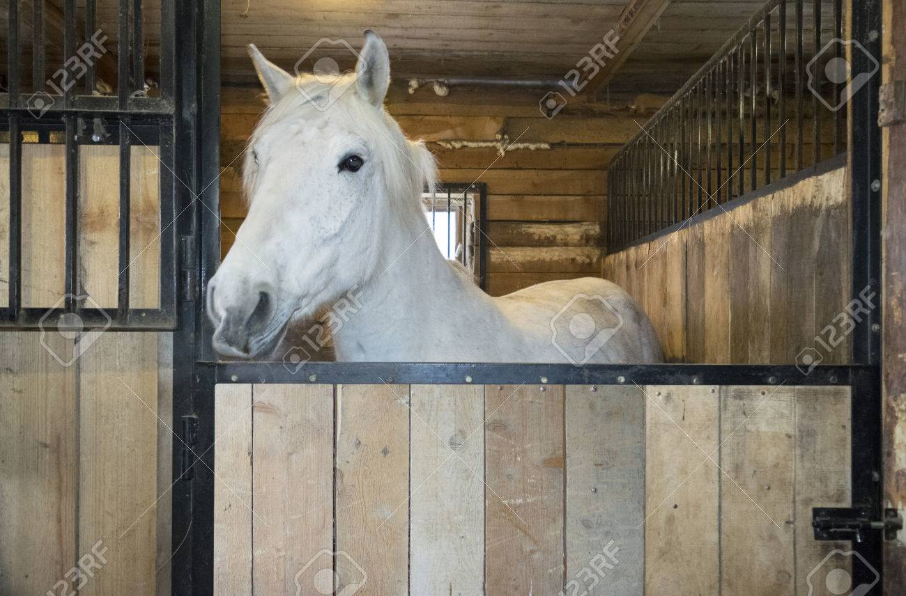 White Horse In A Stable Stock Photo Picture And Royalty Free Image Image 77681027