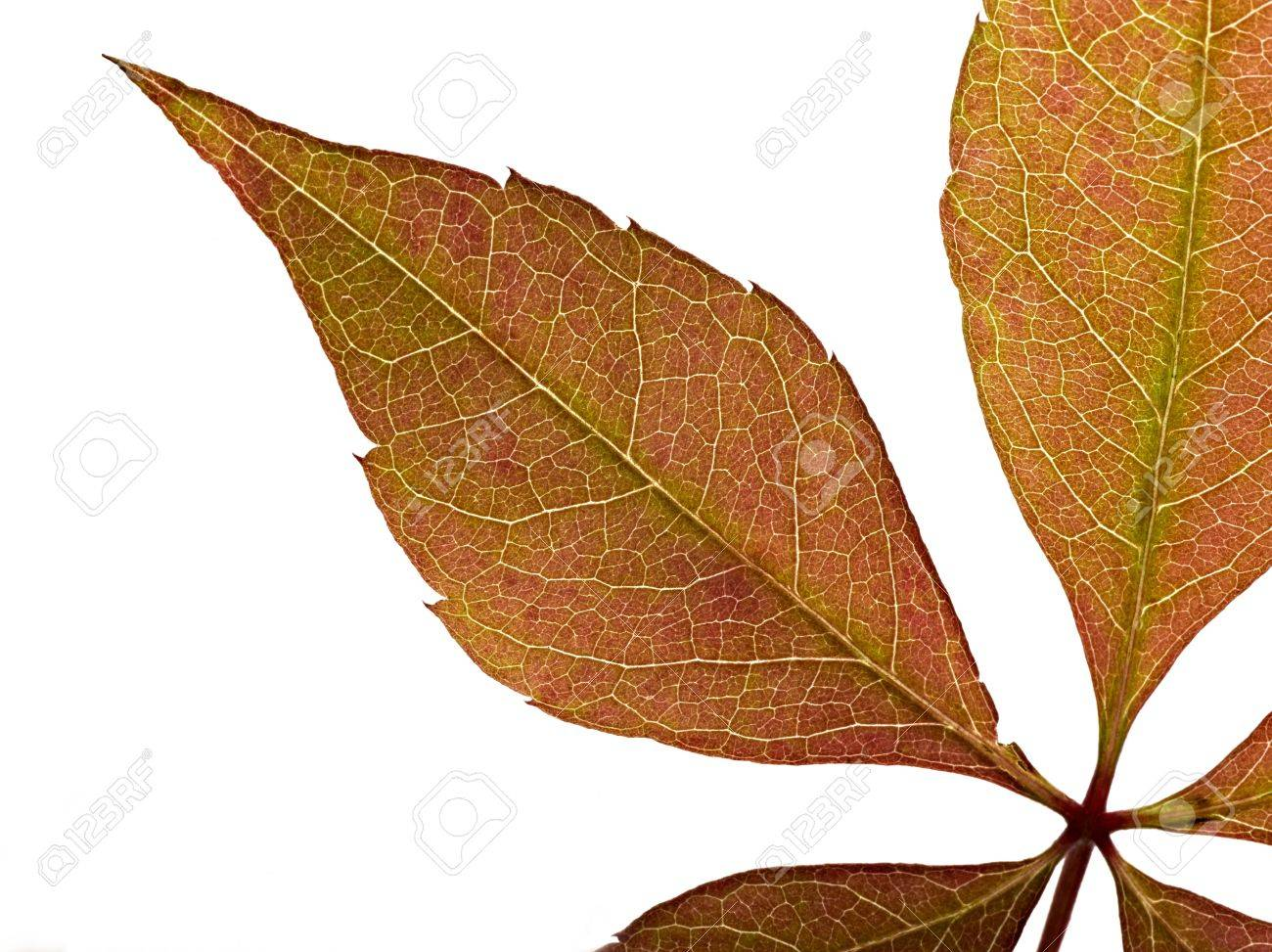 red leaf texture Stock Photo - 12414195