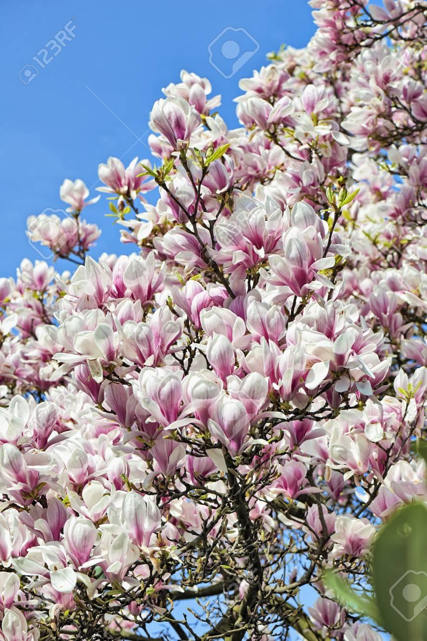 Boom Met Bloemen.Mooie Magnolia Boom En Bloemen In Pasen In Brussel Belgie Europa
