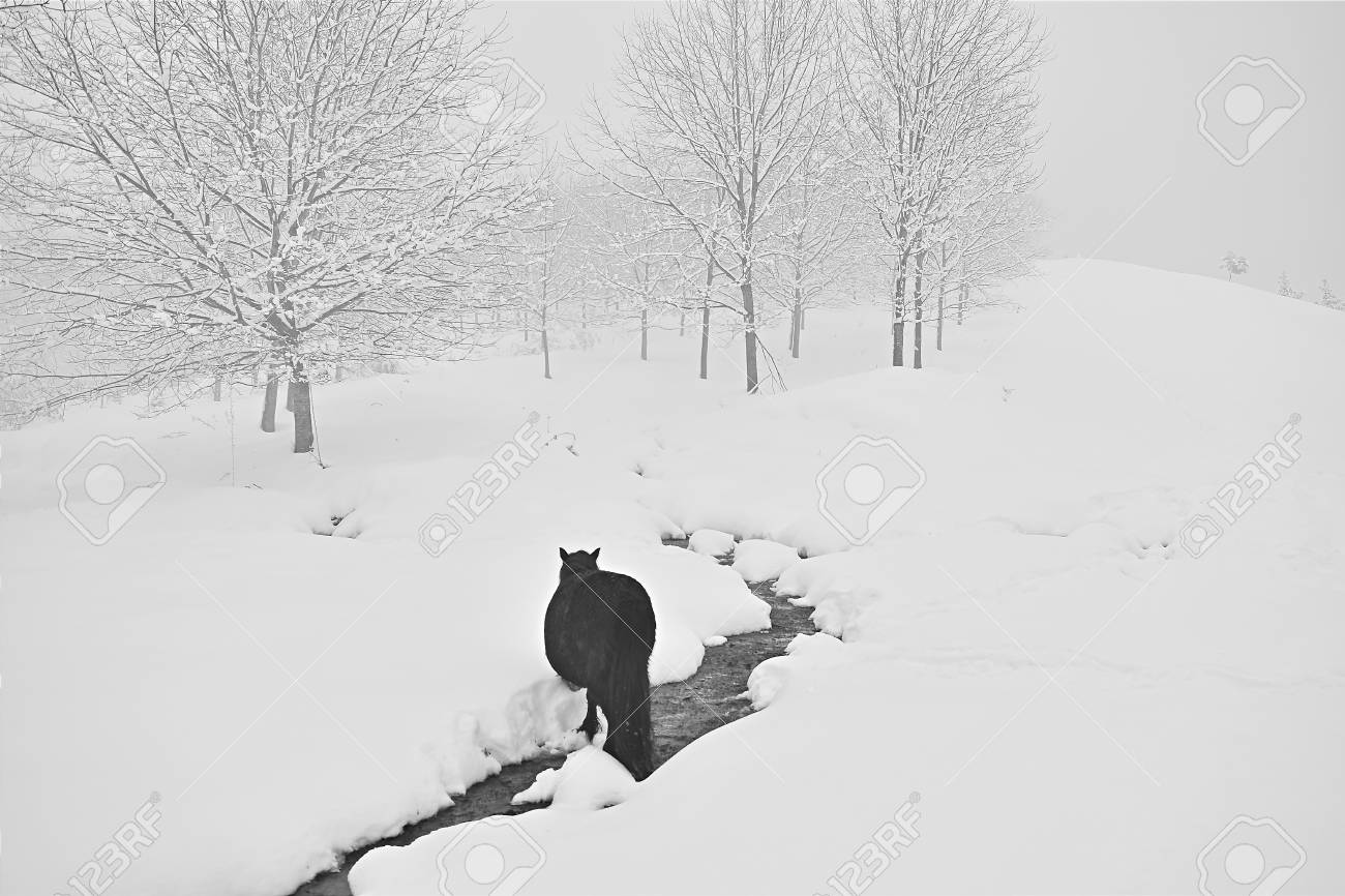 Black Horse Walking Trough The Snow Stock Photo Picture And Royalty Free Image Image 46532228