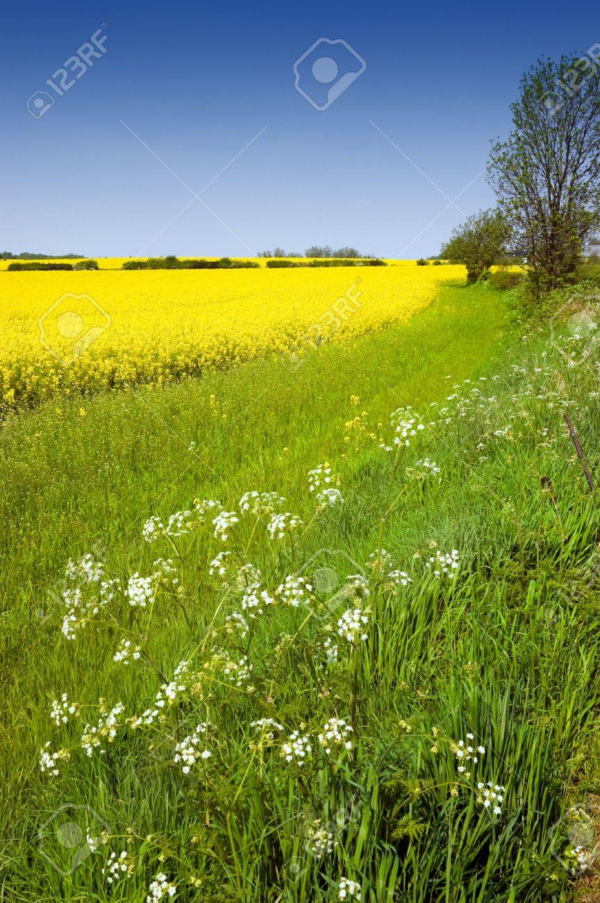 Rural english landscape of golden yellow rapeseed and cow parsley in a green field on farmland Stock Photo - 3071443
