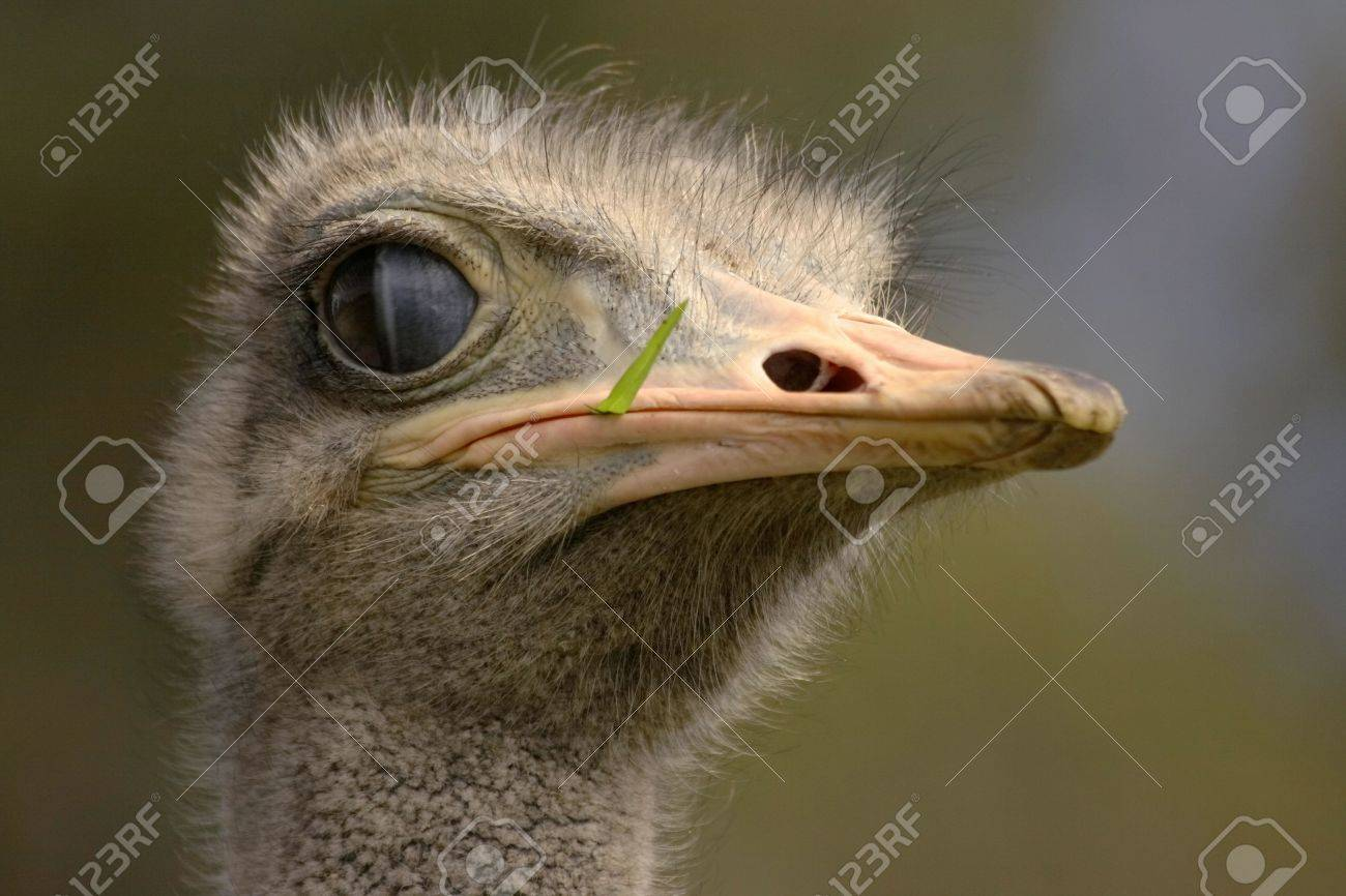 ostrich head with grass sticking out Stock Photo - 865726