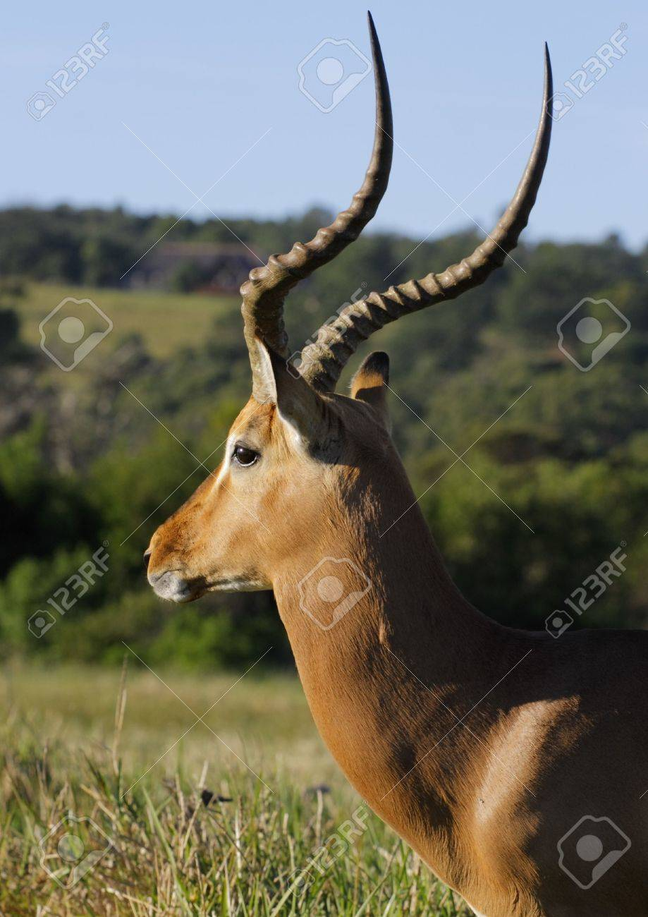 Impala profile standing in the morning sun Stock Photo - 927453