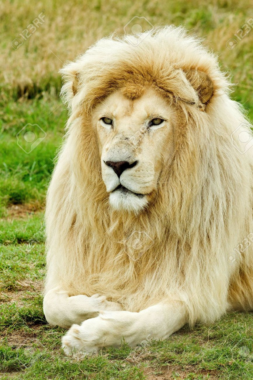 beautifull male white lion resting in the hot african sun Stock Photo - 8630099