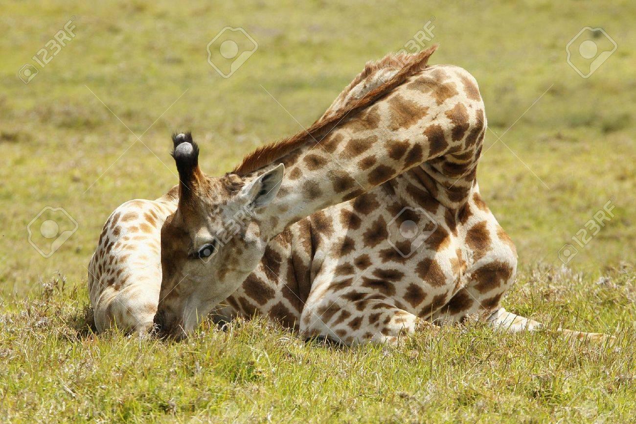 beautifull giraffe resting on a hot summers day Stock Photo - 8630094