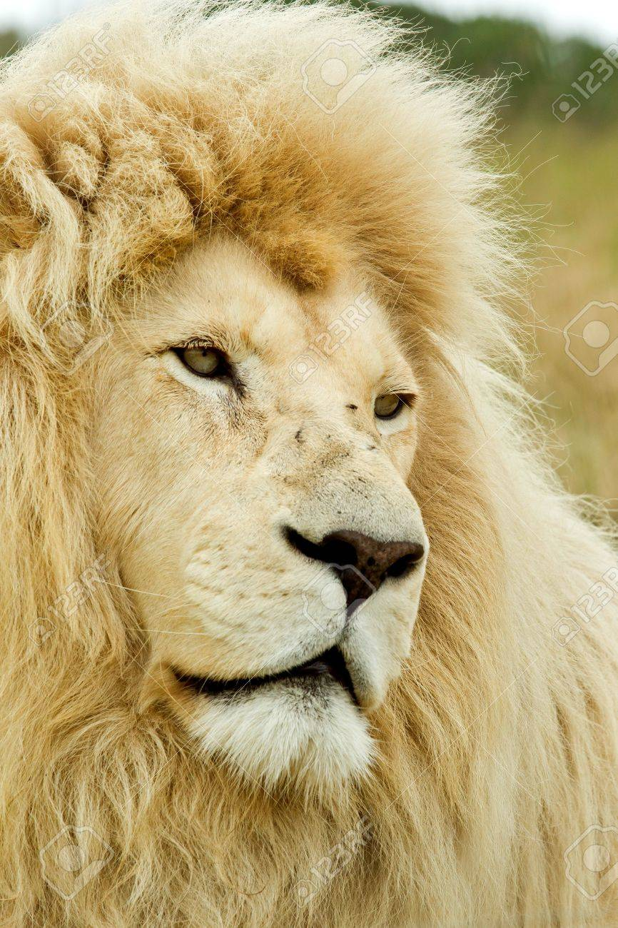 beautiful white lion looking sad in the mid day sun Stock Photo - 8947305