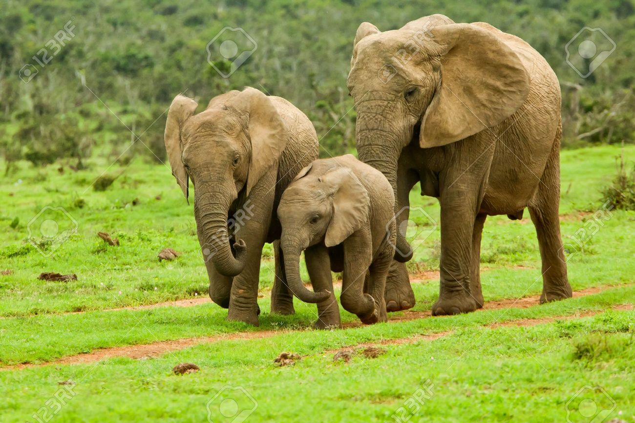 elephant family walking towards a water hole Stock Photo - 9231614