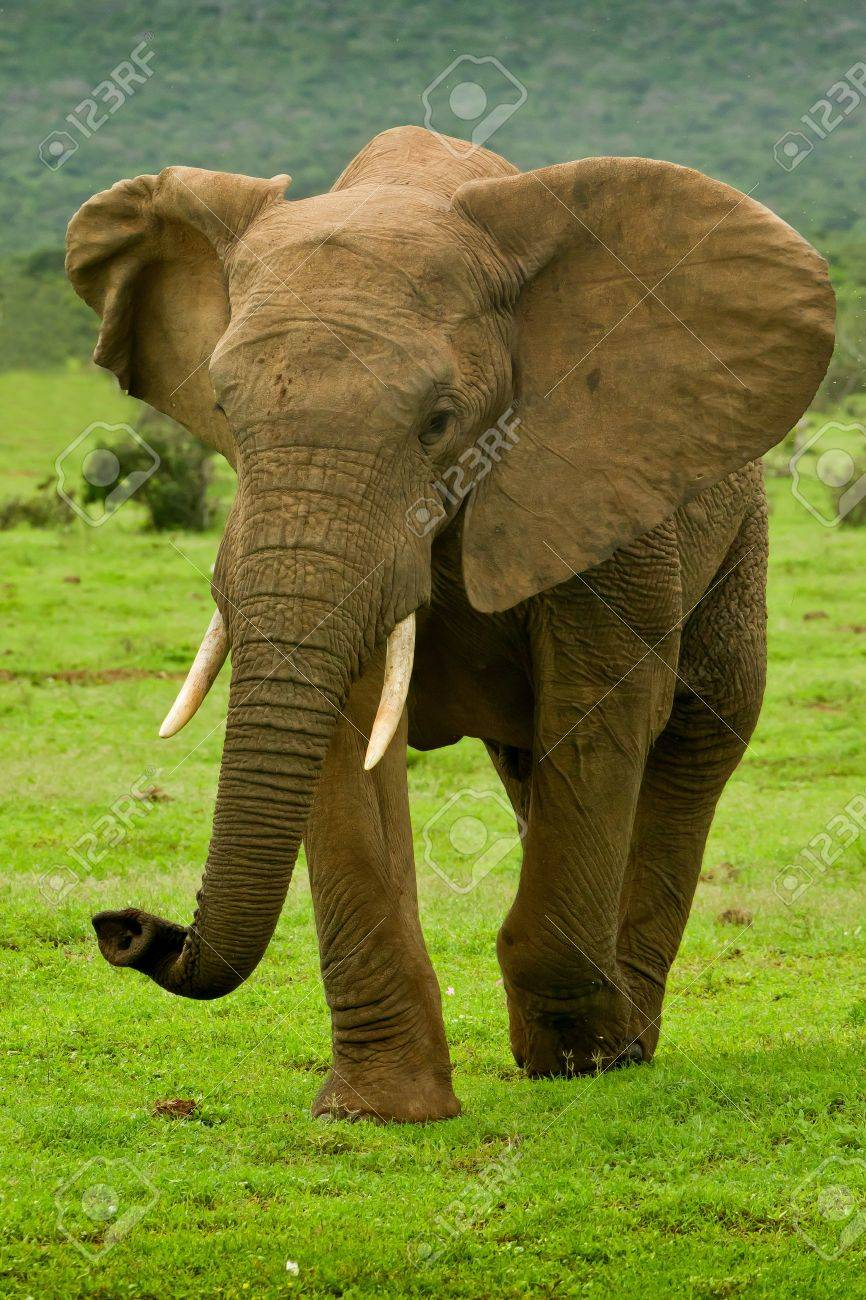Large male elephant walking on a hot summers day Stock Photo - 9231617