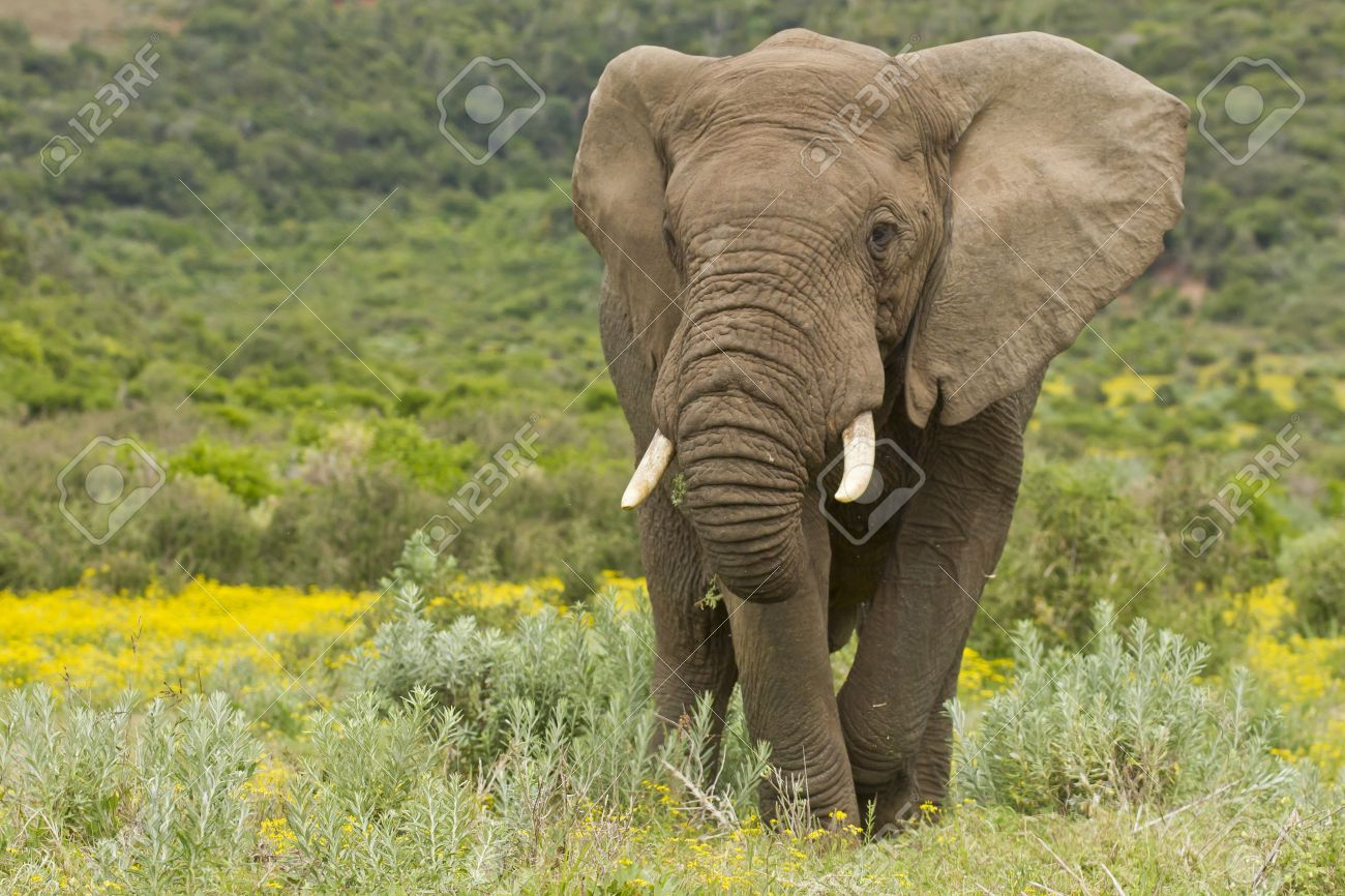 Large africal elephant eating in a field of yellow flowers Stock Photo - 15706978