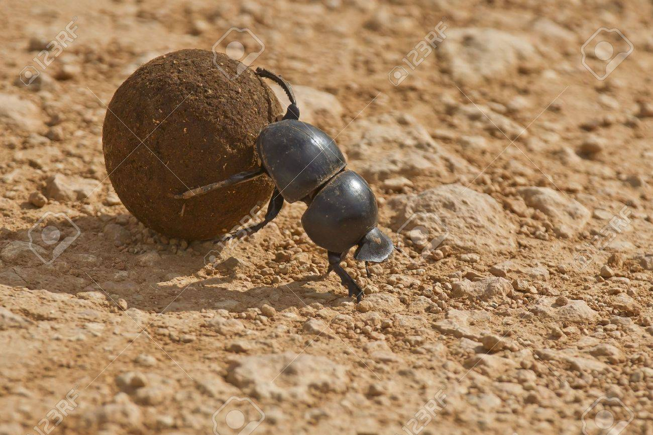Dung beetle rolling some dung in the early morning sun - 18265314
