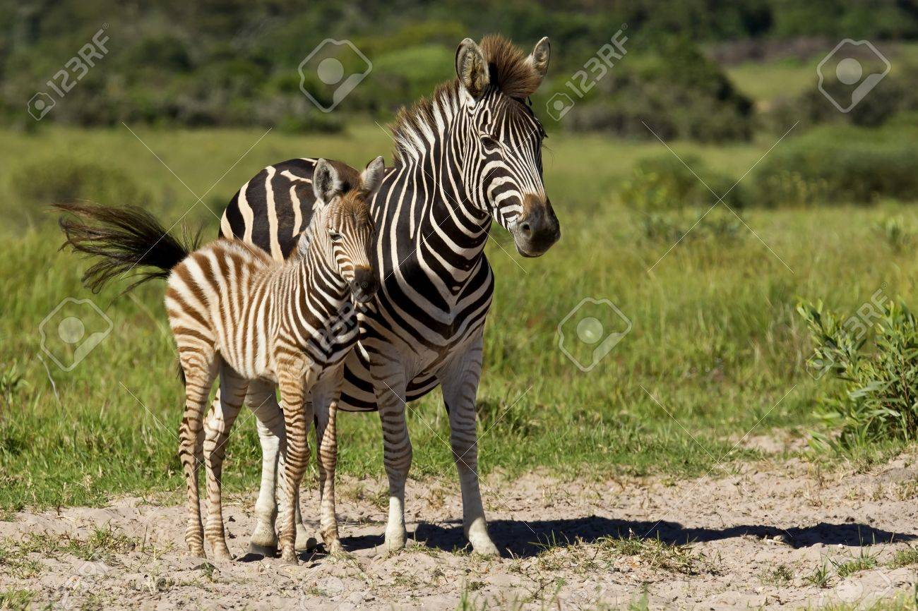 Zebra mother and one of her young standing in the hot summer sun Stock Photo - 18265405