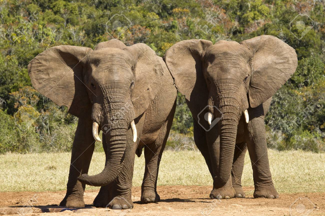 two young elephants standing and pushing each other from side to side Stock Photo - 43634569