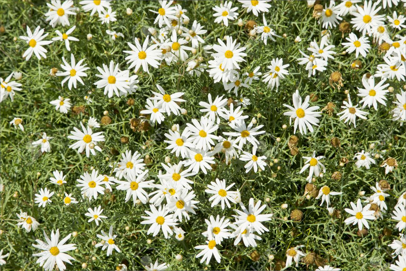 Large Plant With Flowering White Daisy Flowers During Spring Stock