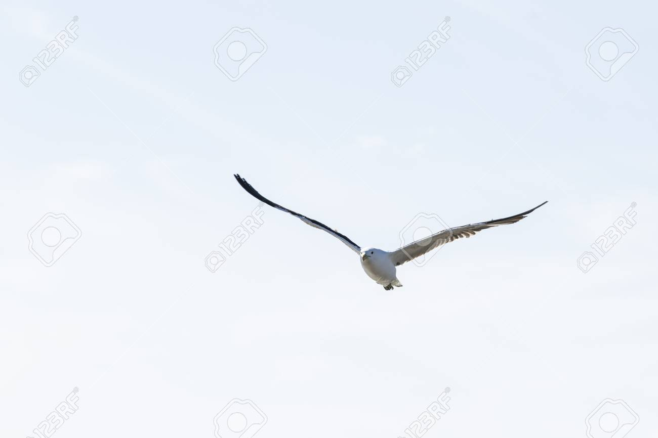 Lesser black-backed gull flying high in the air looking for food late in the afternoon Stock Photo - 92788433