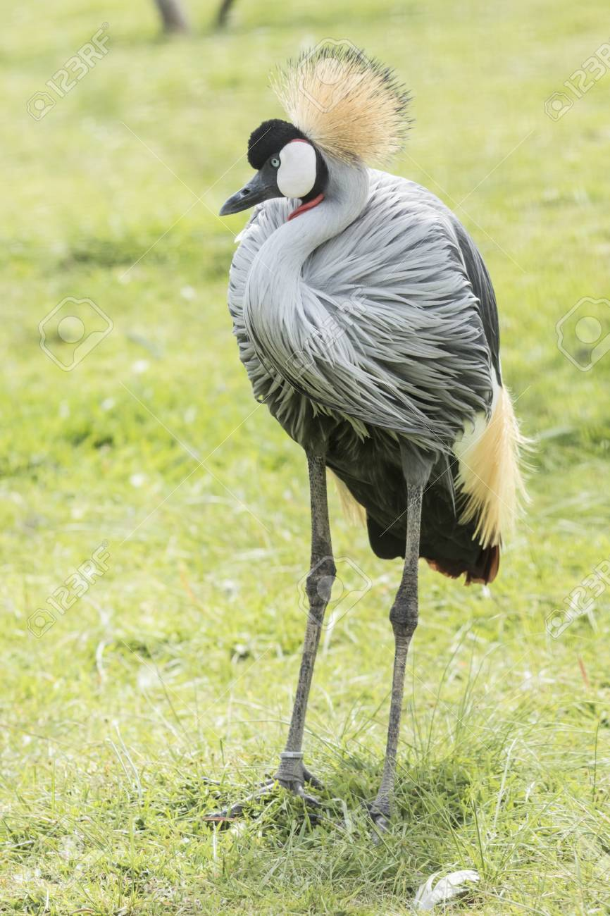 Crowned crane standing and enjoying some warm sunshine while recovering at a rehabilitation centre Stock Photo - 92759473