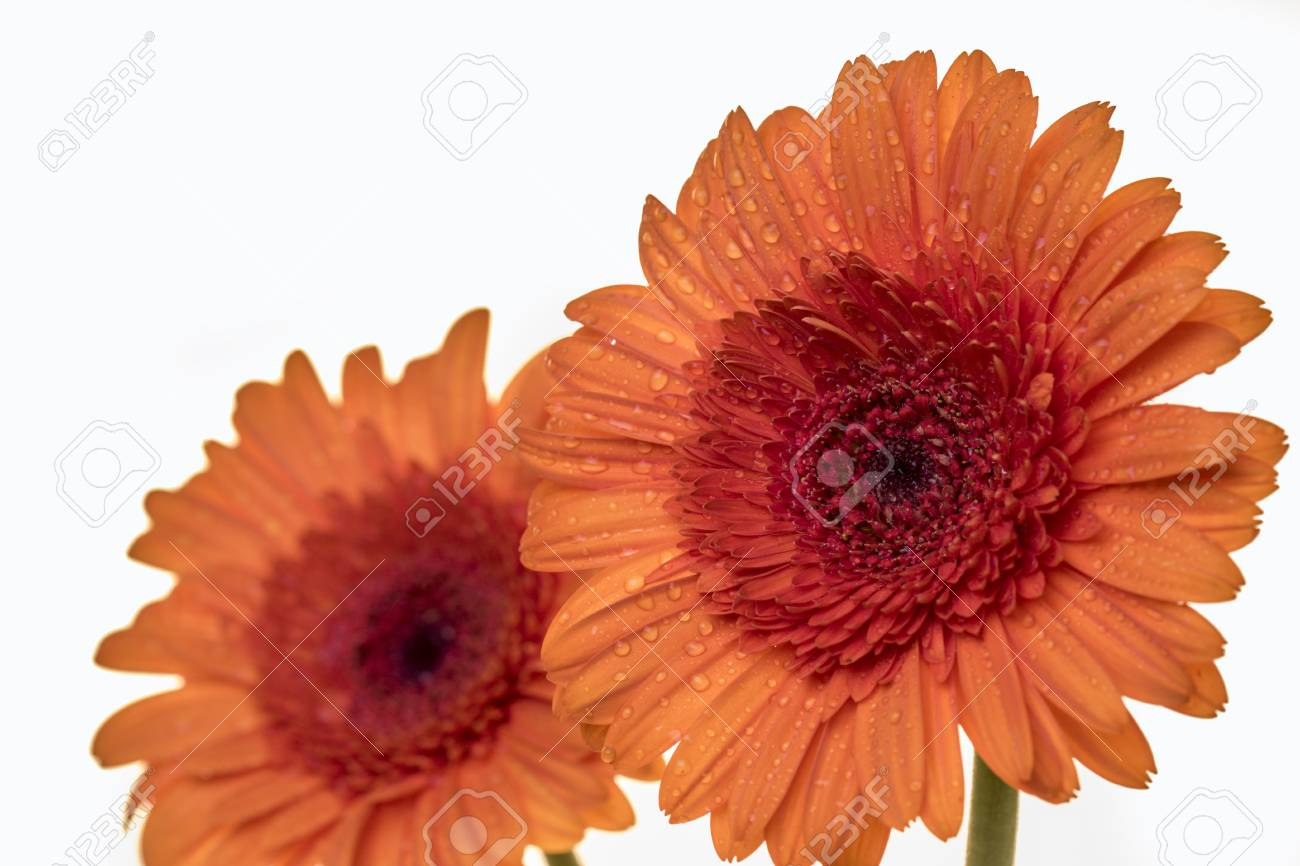 Gerber Flowers In An Orange Colour Isolated On A White Background