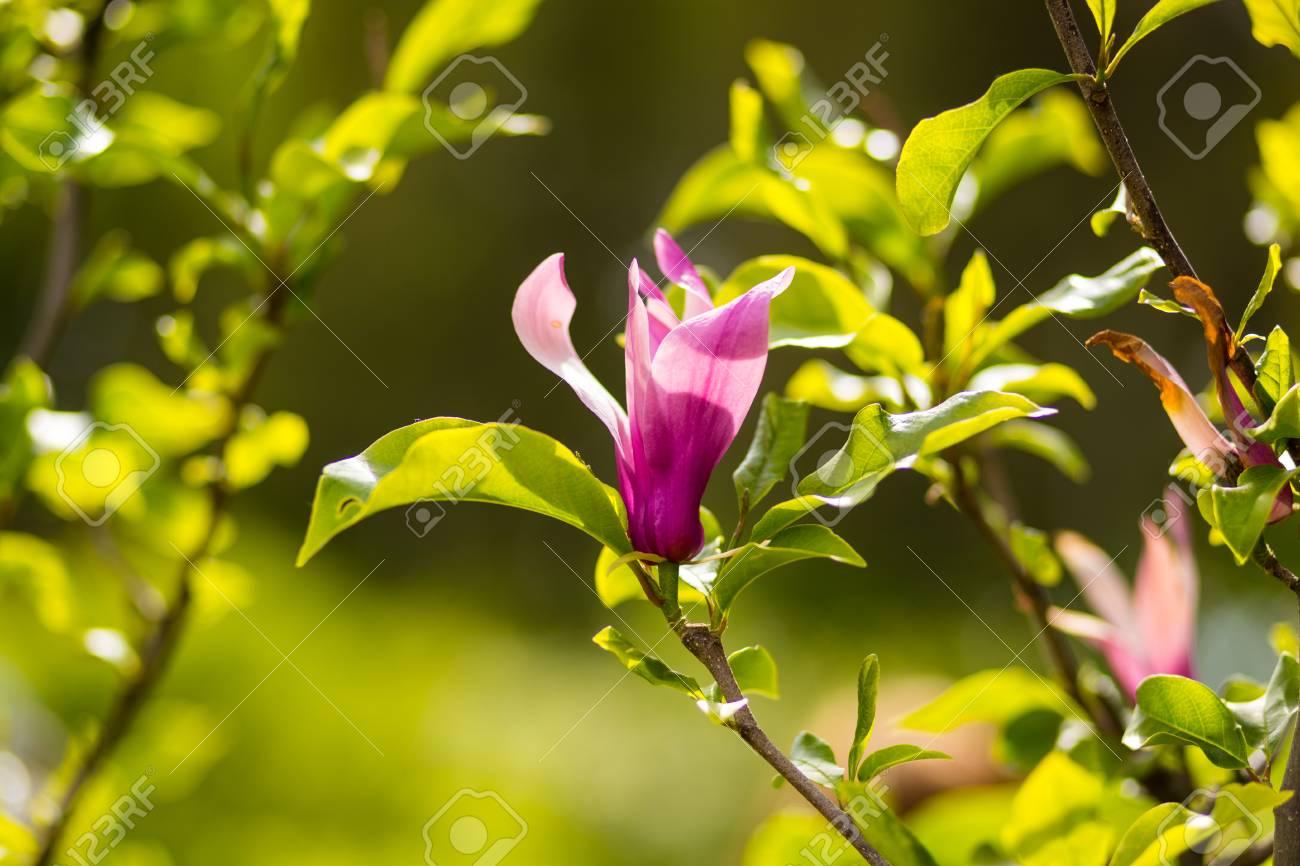 garten blumen lila, schöne gartenblumen, lila, rosa, rot, kosmos blumen im garten, Design ideen