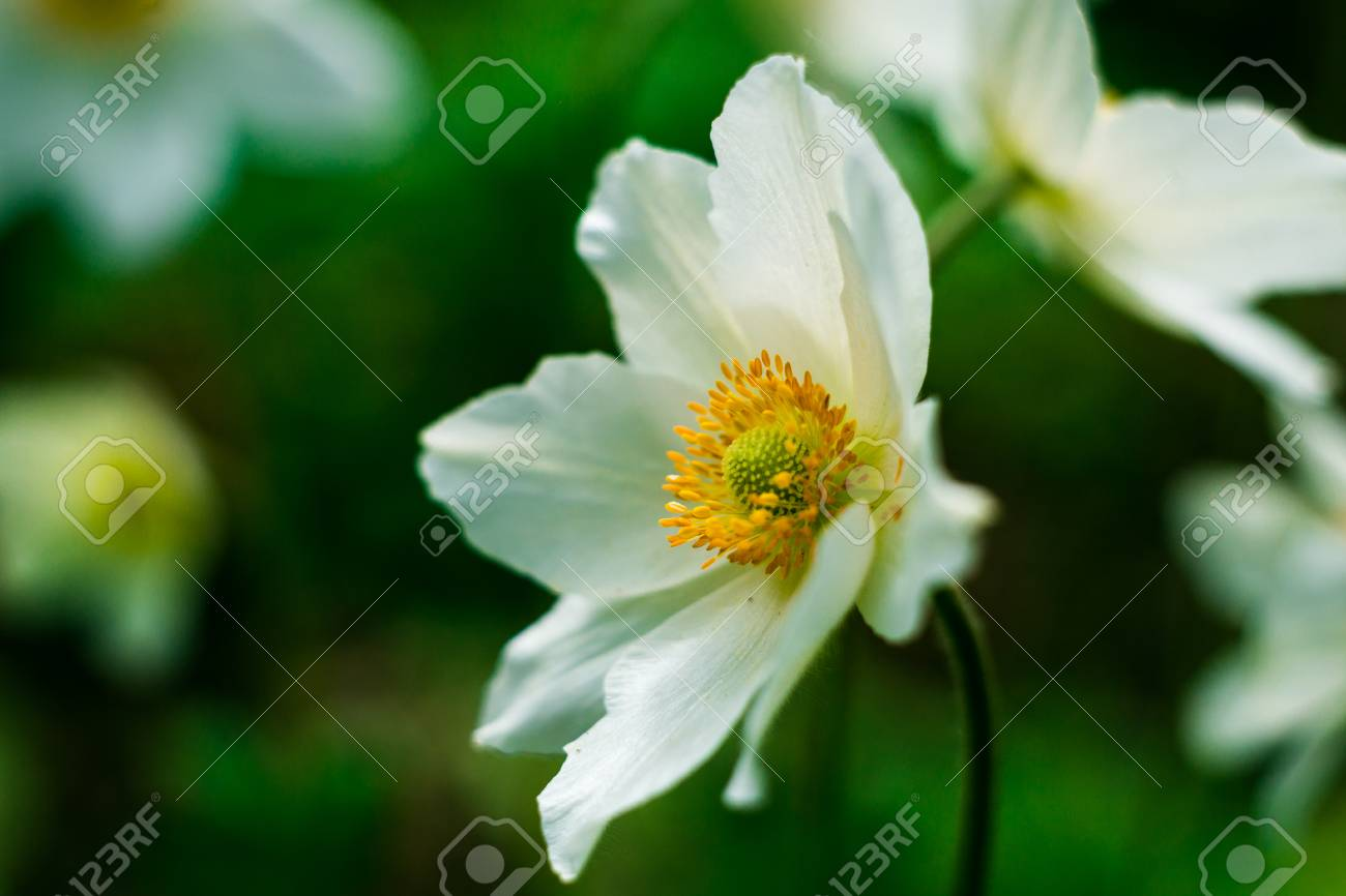 White daffodil flower in the fieldin garden daffodil flowers stock photo white daffodil flower in the fieldin garden daffodil flowers in sunlighteld of white daffodils or narcissus or suisenspring summer mightylinksfo