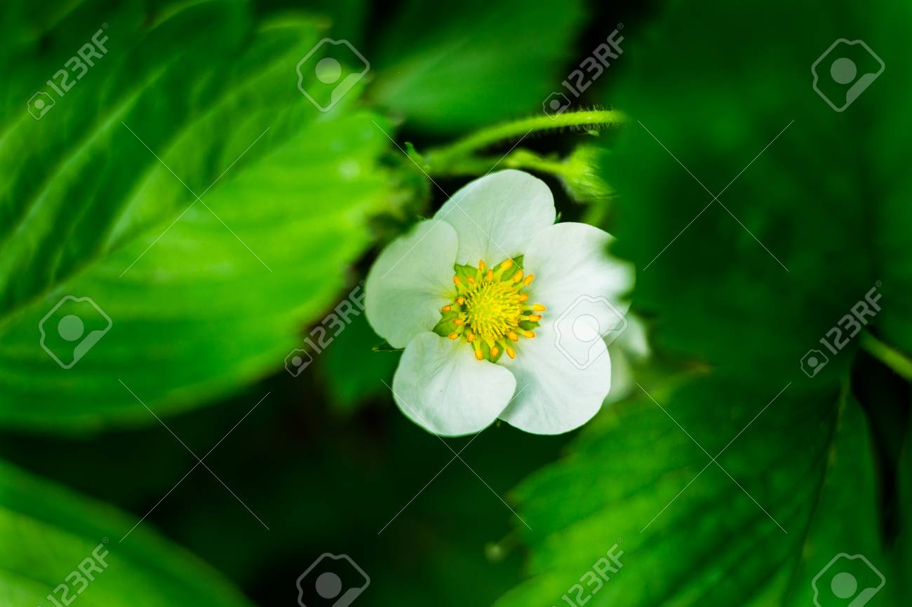 White Flower Strawberry,strawberry Flower And Leaves,A Strawberry ...