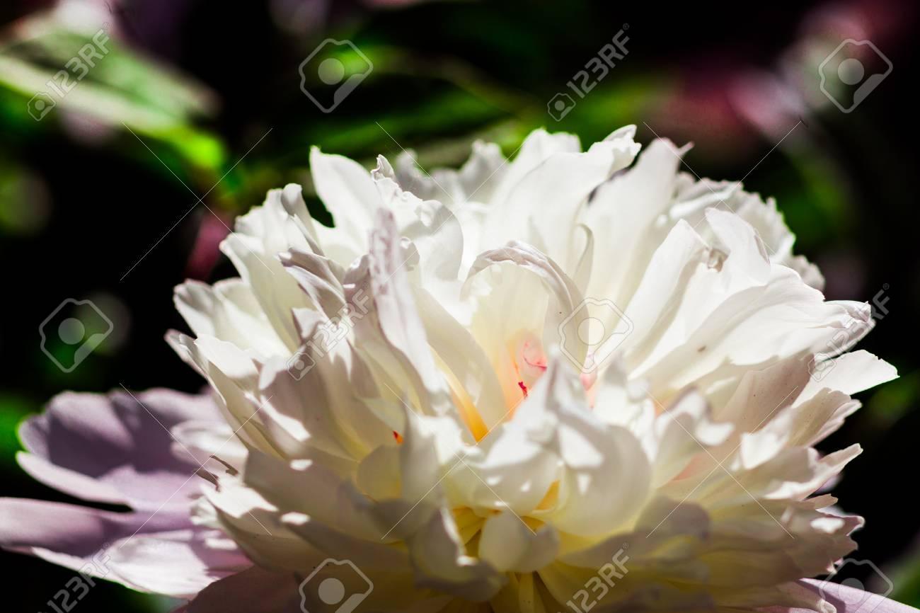 Beautiful Big Blooming White Pink Peony Flowers In Springwhite