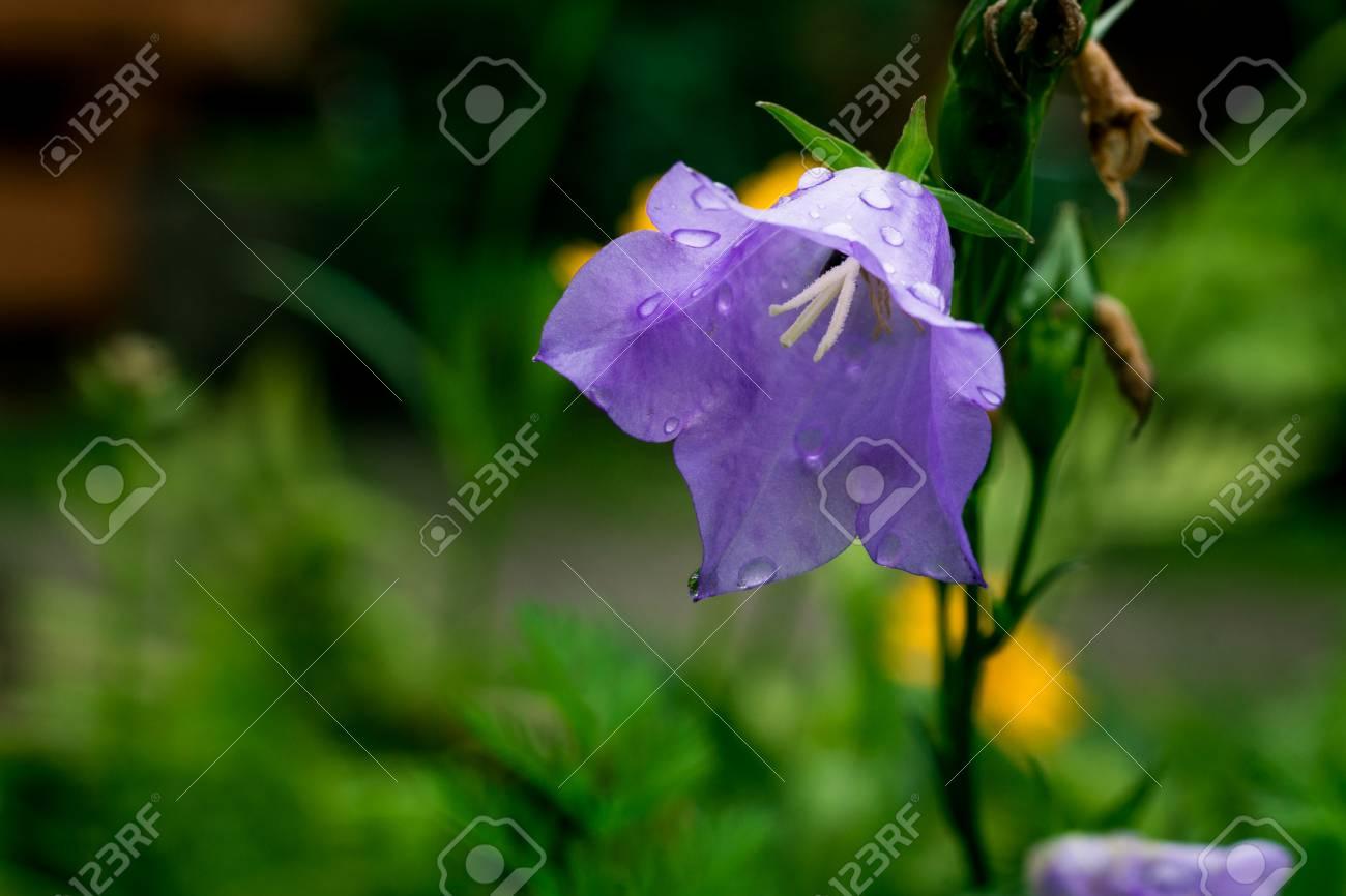 Blue bell flowerspurple bell flower beautiful spring background blue bell flowerspurple bell flower beautiful spring background with campanula bouquetbell mightylinksfo