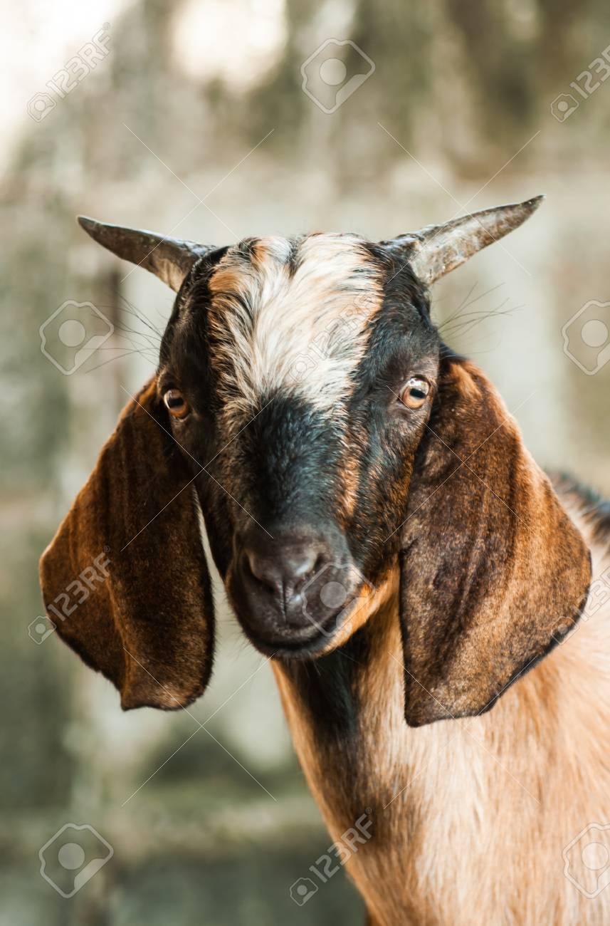 Goat face pictures #2
