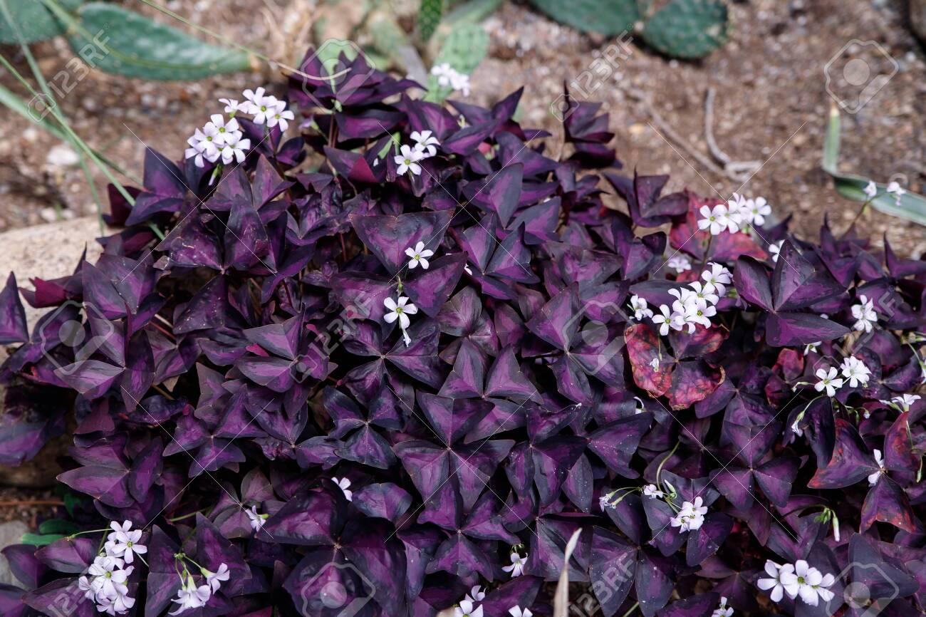 Tropical Leaves Texture Purple Leaf Thorn Foliage Ornamental