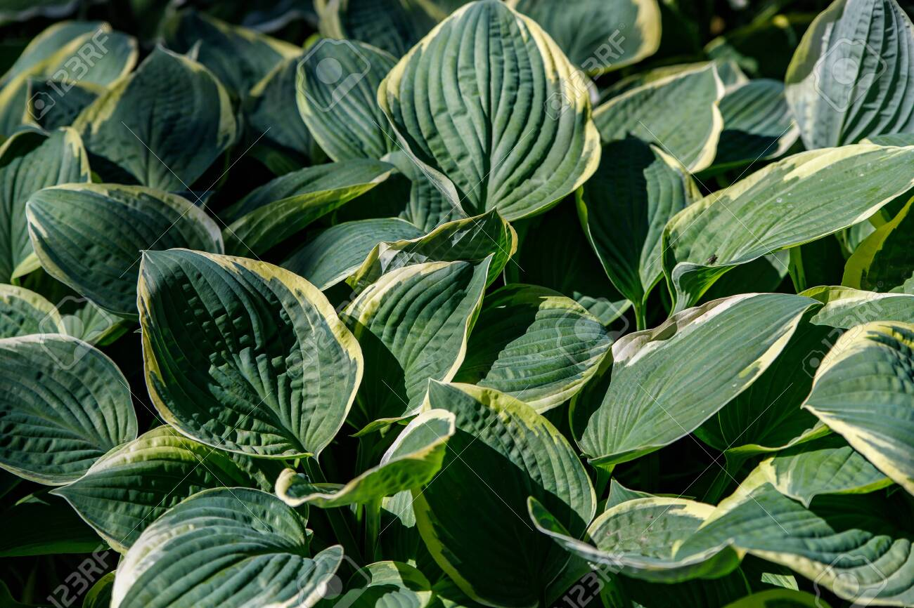 A Hosta With Leaves With A Yellow Border As A Background