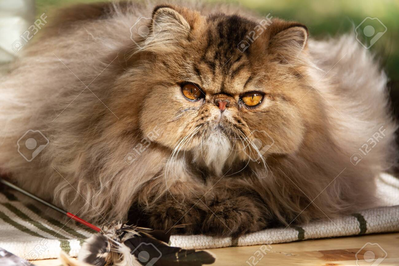 Persian cat. Adult animal. The cat was photographed close-up on a walk in the park. Autumn - 131642640