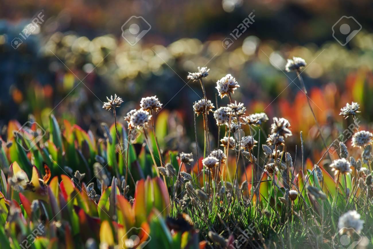 Campo De Hermosas Flores Silvestres En La Zona Rocosa De Portugal