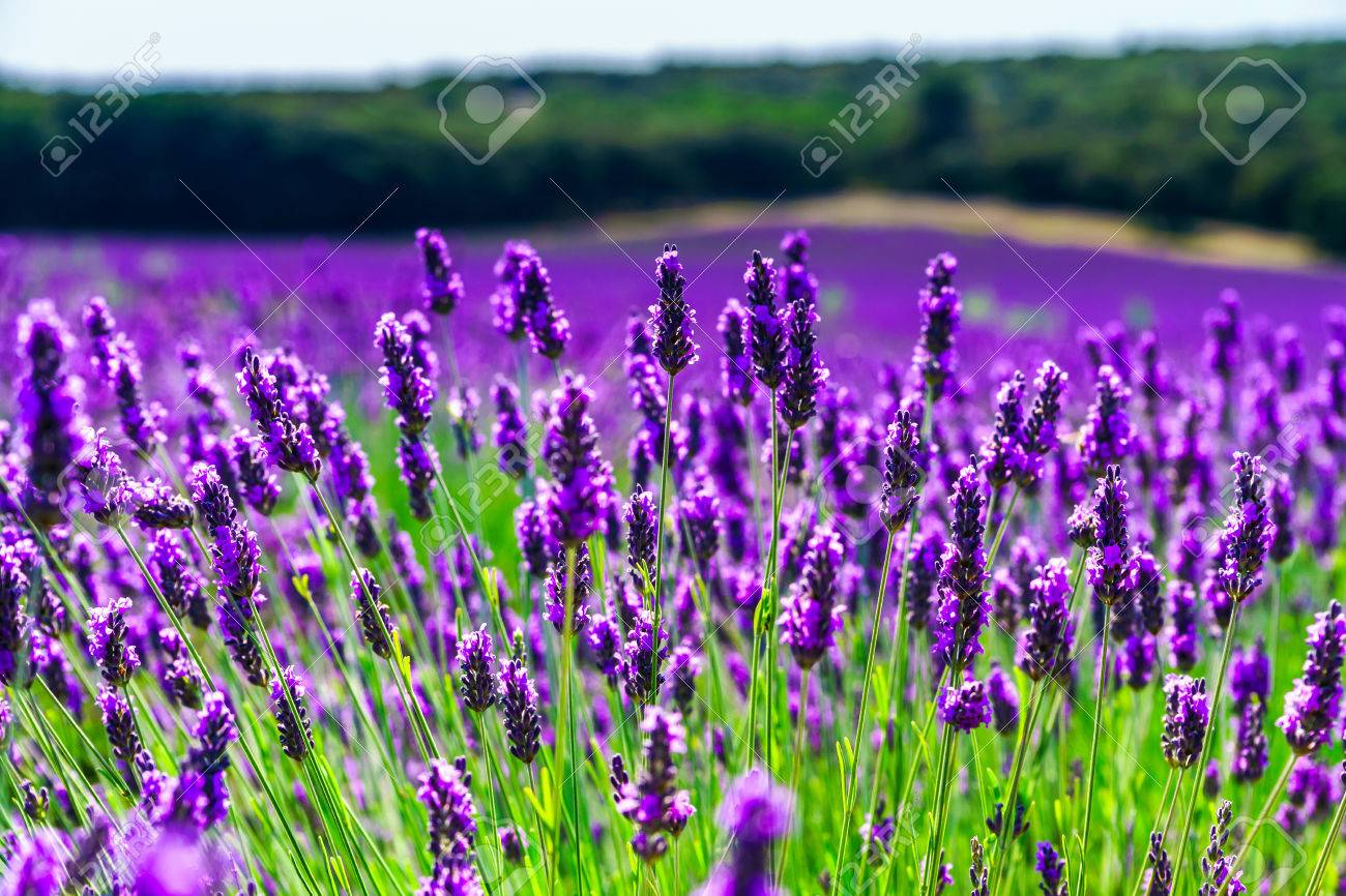 Beautiful violet fields of lavender in Provence, France - 42588789