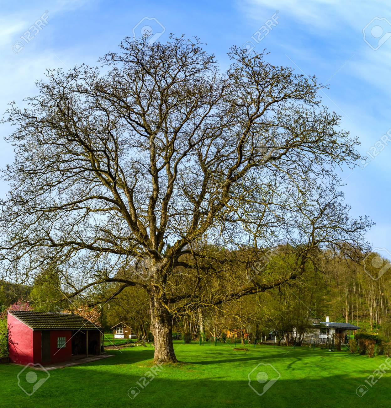 Great walnut-tree early spring day, sunny and warm, Belgium