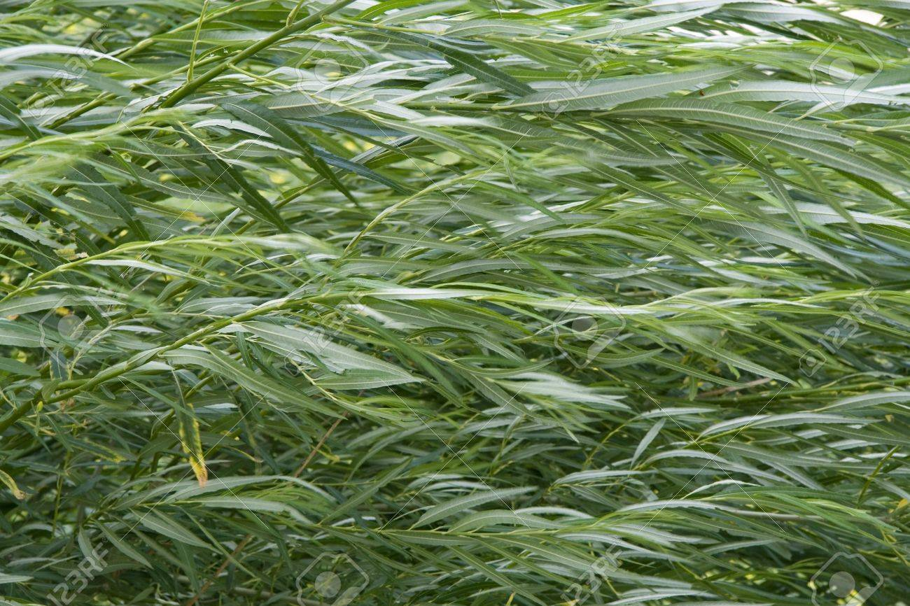 Weeping Willow Detail In Garden Green Color Leaves Stock Photo ...