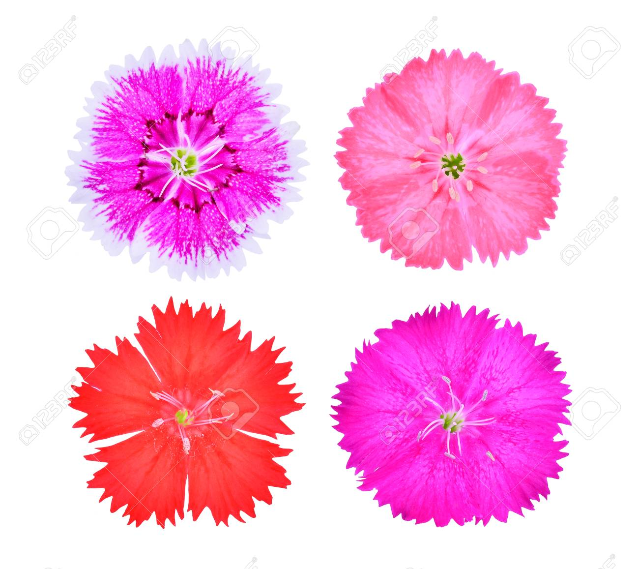 Dianthus Flowerchina Pink Indian Pink Isolated On White