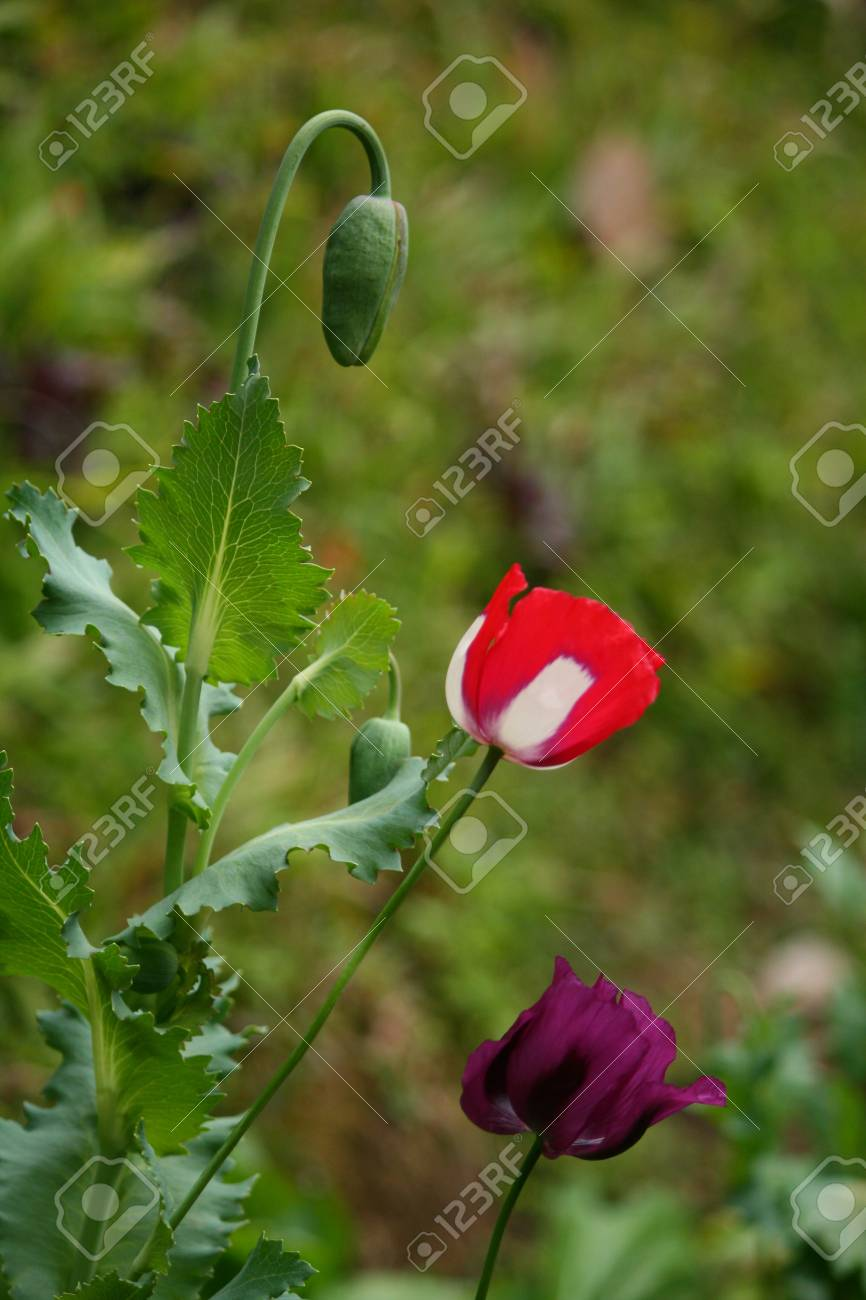 Real Opium Flower Group Red Green Purple Stock Photo Picture And