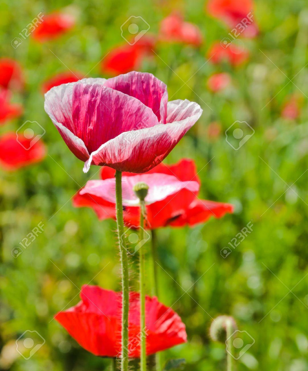 Opium poppy flower in field stock photo picture and royalty free opium poppy flower in field stock photo 17628003 mightylinksfo