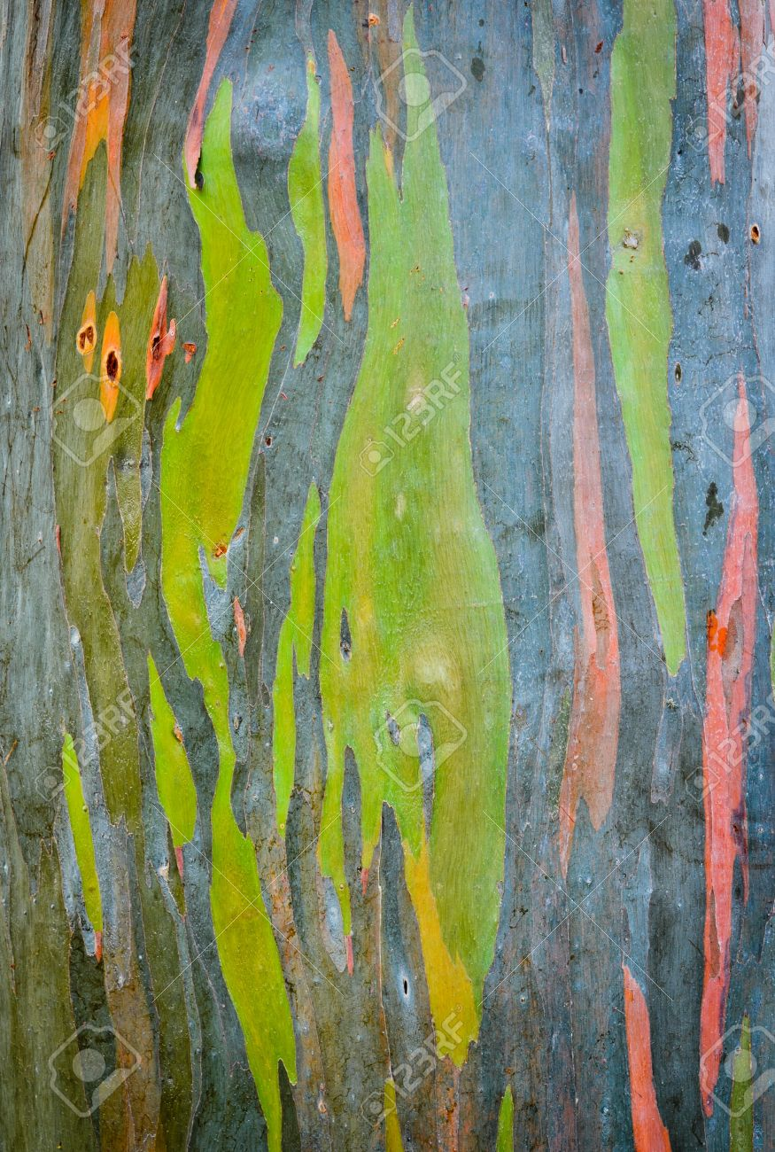 Background Of Rainbow Eucalyptus Tree Bark Stock Photo, Picture And ...
