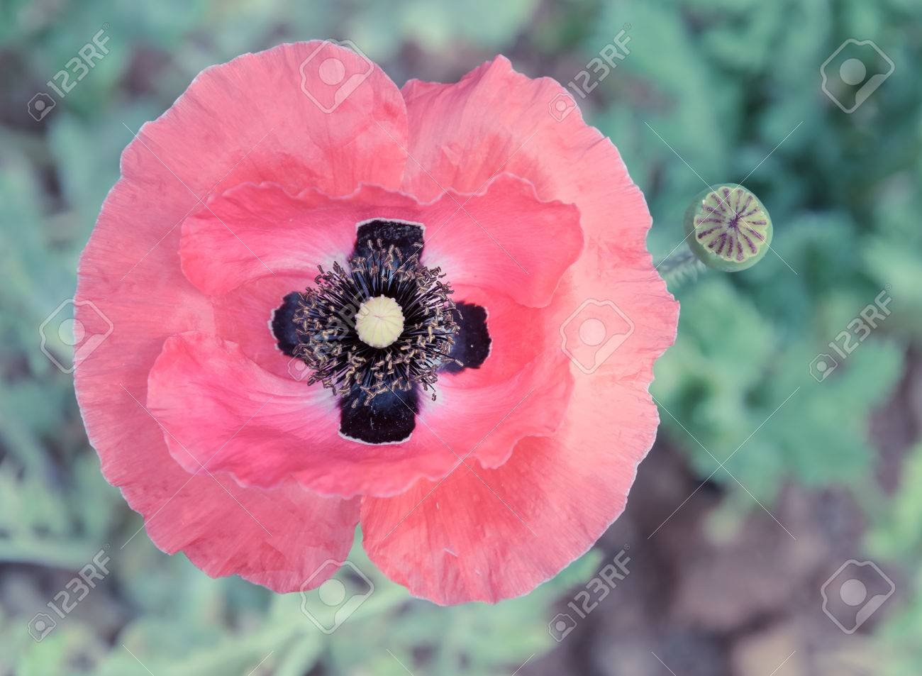 Poppy Flowers With Bud Stock Photo Picture And Royalty Free Image