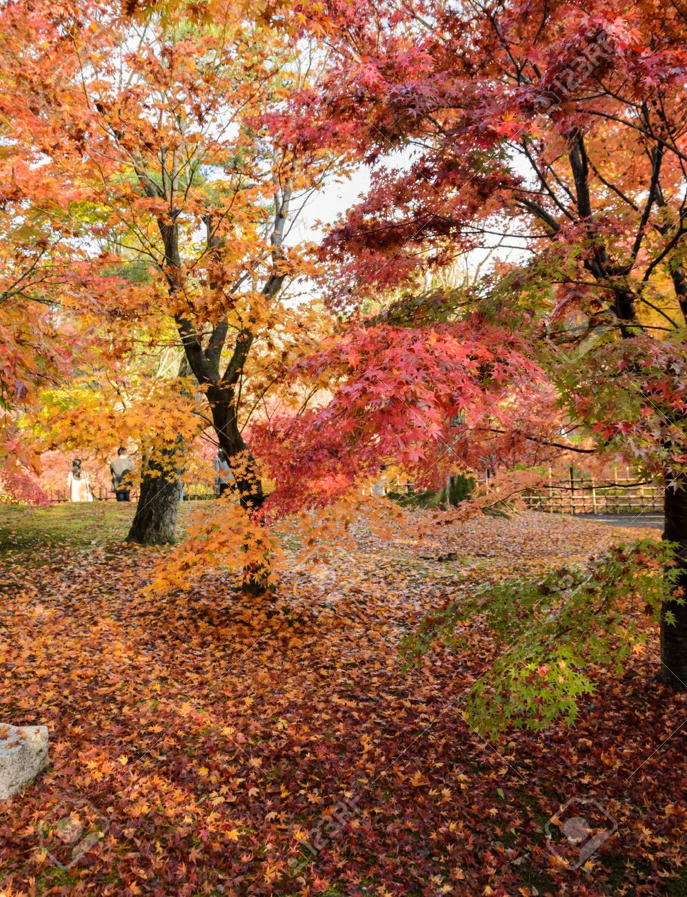 Autumn Maple Garden At Peak Color Leaves At Tofukuji Temple In ...