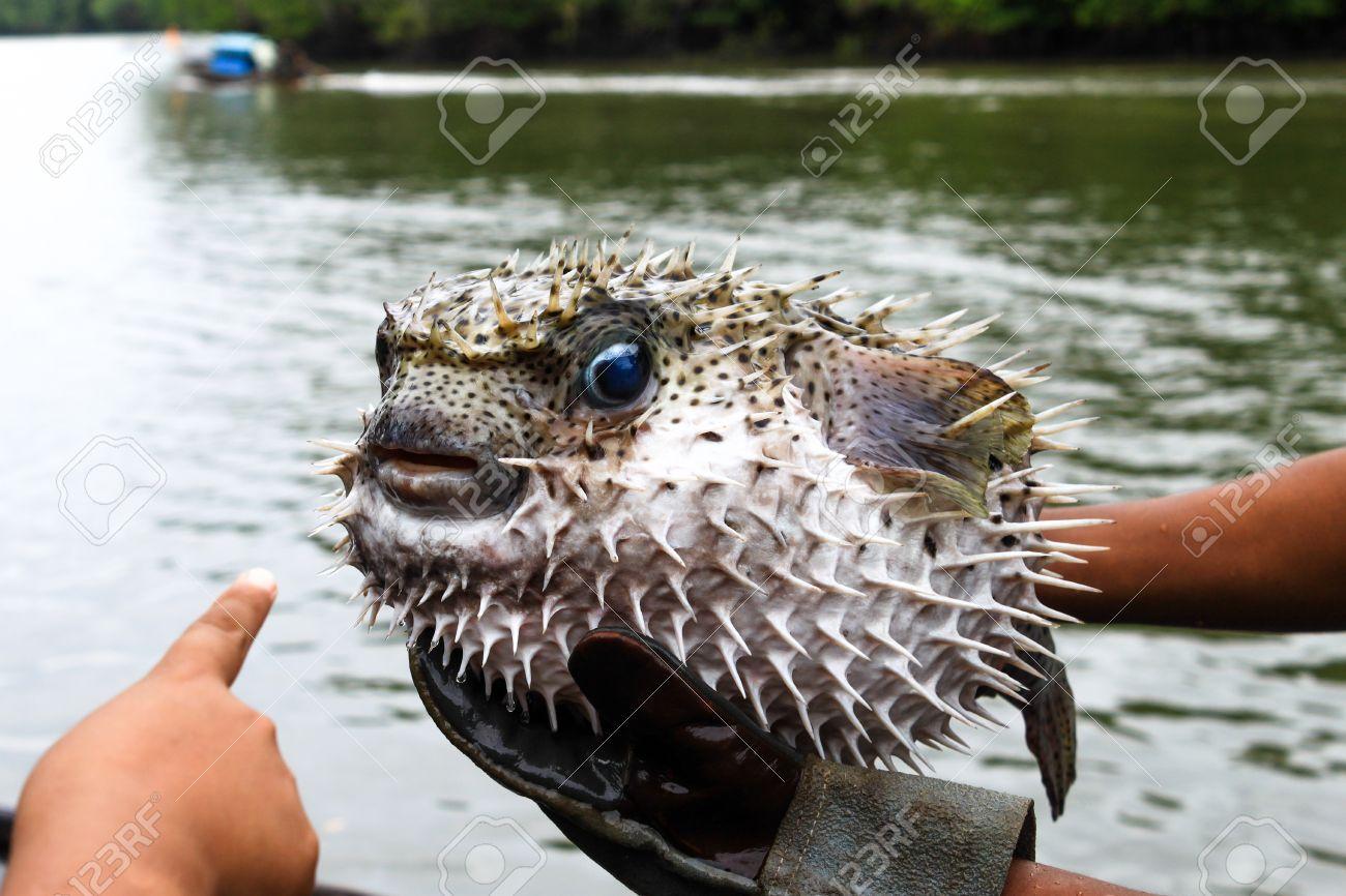 8d7d1bfc4 Blowfish or puffer fish Stock Photo - 20977469