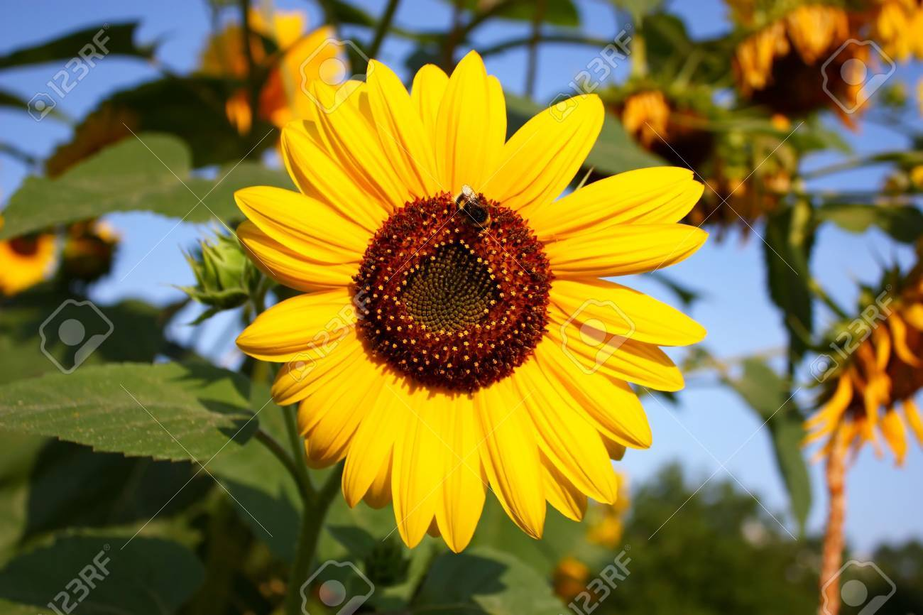 colorful sunflower with a bumble bee Stock Photo - 6046324