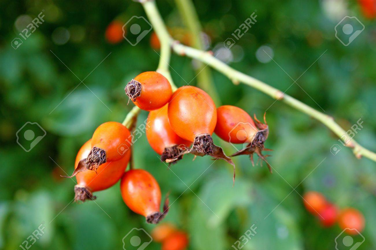 Red fruits of rose hip in front of green leaves Stock Photo - 8547313