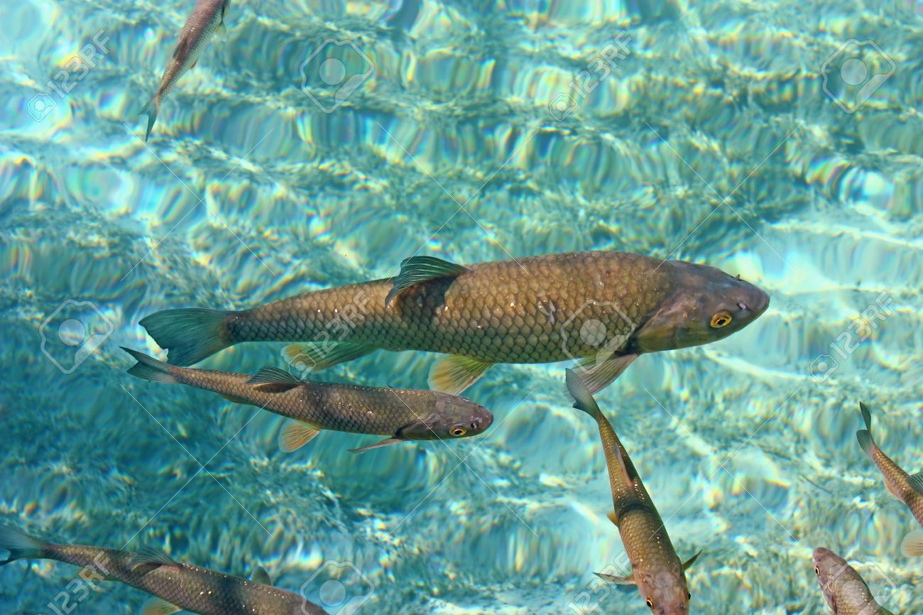 Big trout swimming in crystal clear water of Plitvice Lakes Stock Photo - 10495495