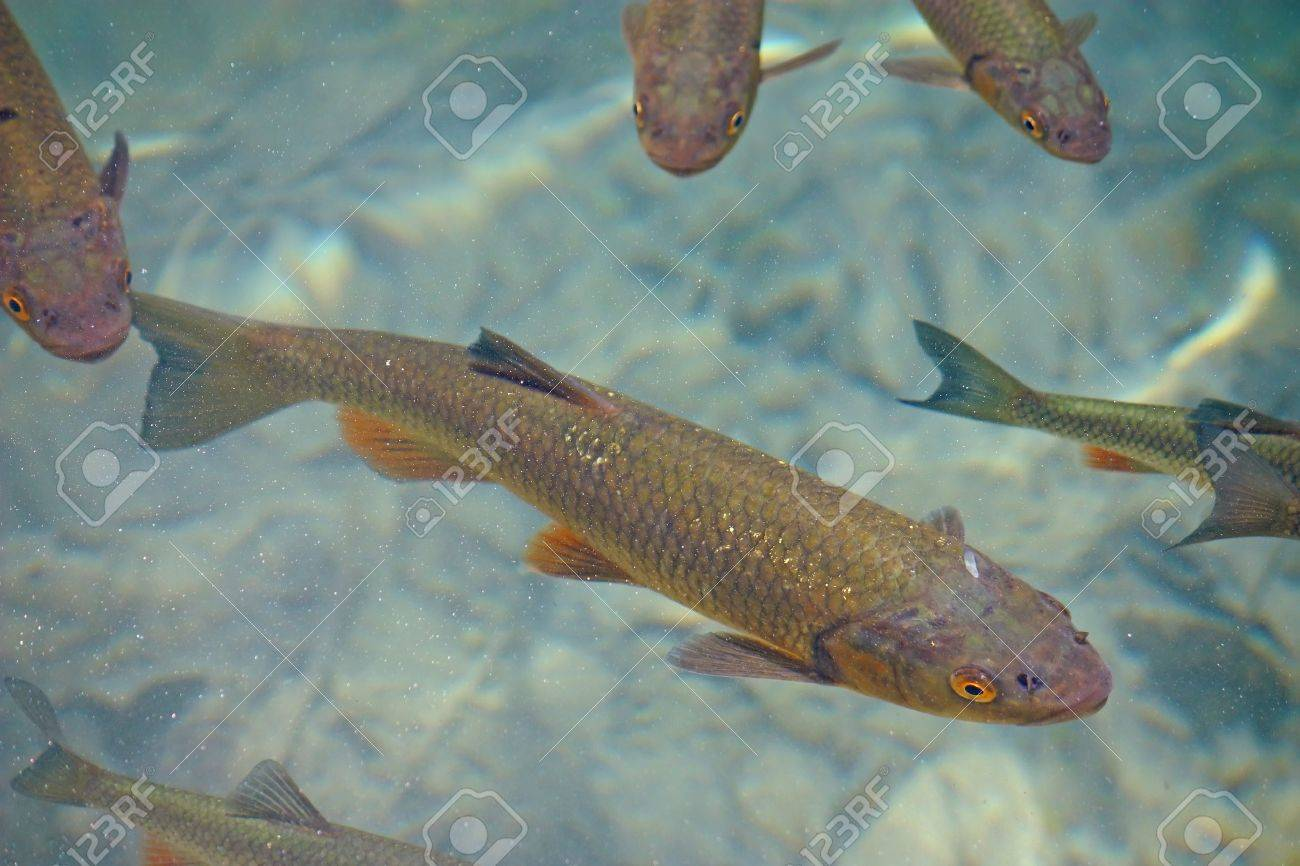Big trout swimming in crystal clear water of Plitvice Lakes Stock Photo - 15496610