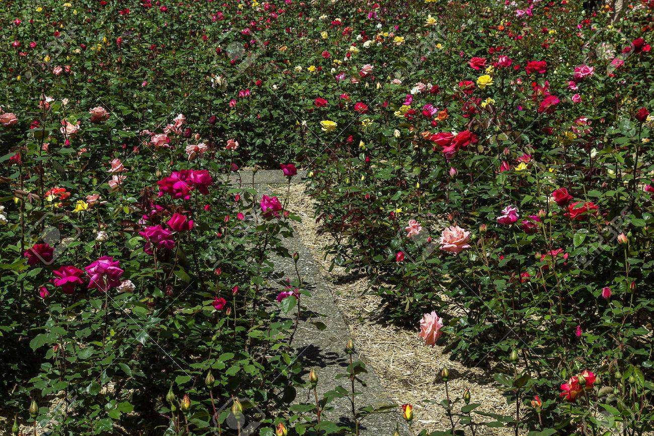 Rose Garden In Rapperswil Old Town, Switzerland Stock Photo, Picture ...