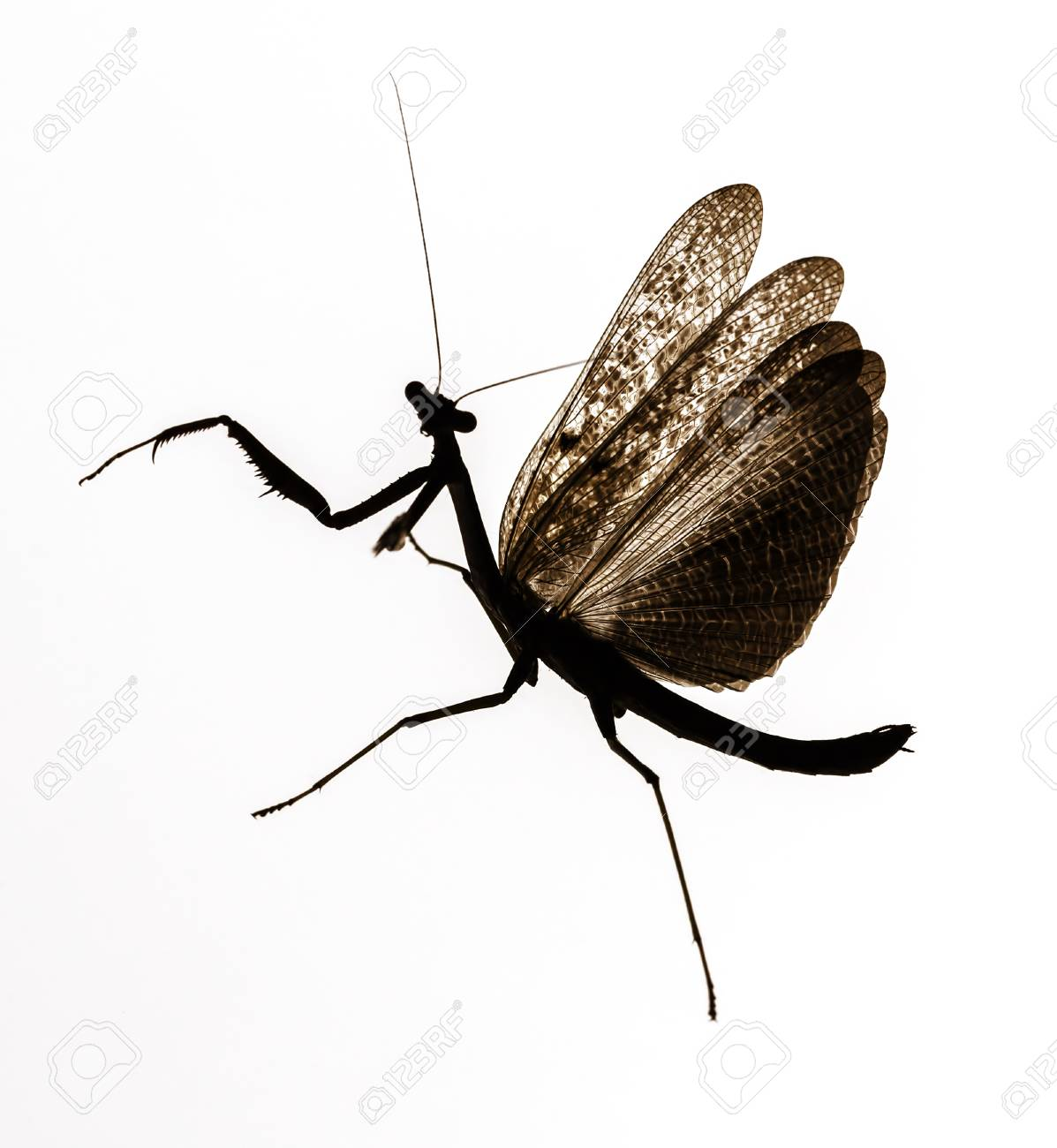 Praying Mantis With Spreaded Wings On White Background Stock Photo