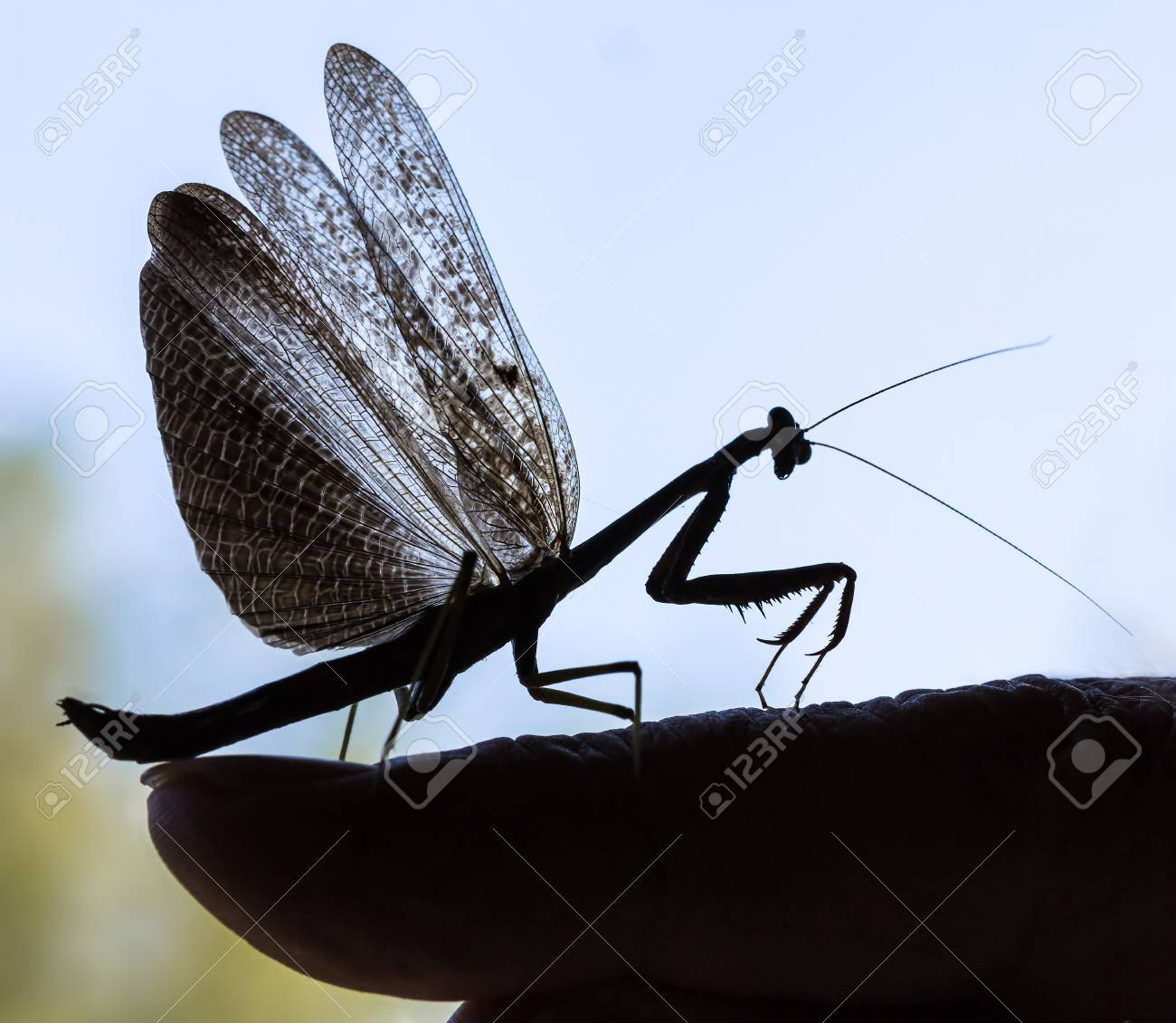 Praying Mantis With Spreaded Wings Sitting On The Finger Stock
