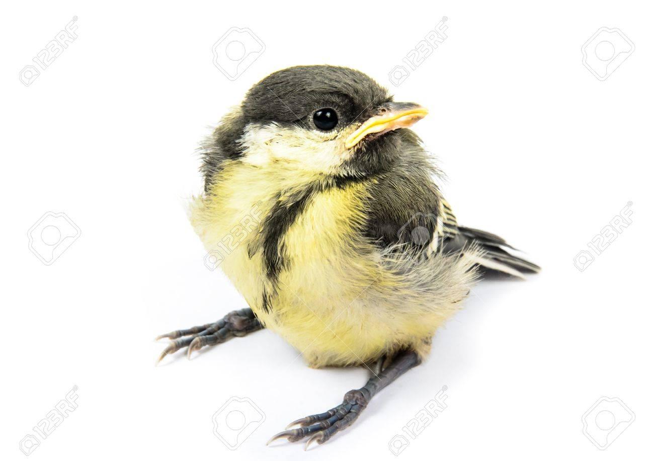 Fledgling birds tit. Photo isolated on white background Stock Photo - 14479857